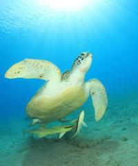 Green Sea Turtle with Remora Fish and sunburst