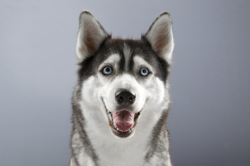 husky with a happy face