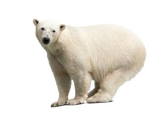 Wall Mural - polar bear over white