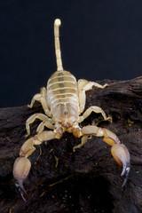 Scorpion / Paleocheloctonus pauliani