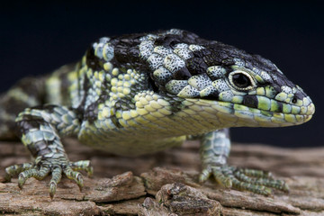 Speckled alligator lizard / Abronia taeniata