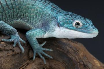 Blue alligator lizard / Abronia graminea