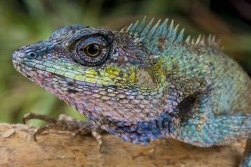 Forest lizard / Calotes mystaceus