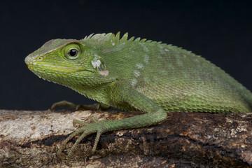 Green dragon / Calotes jubatus