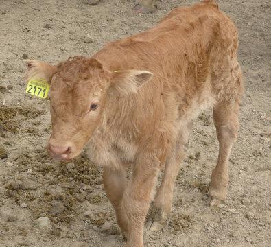 veau, bétail, animal, étiquette, marquage, viande, cuir