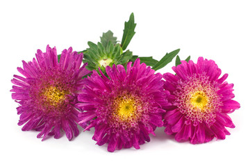 Aster red isolated on white