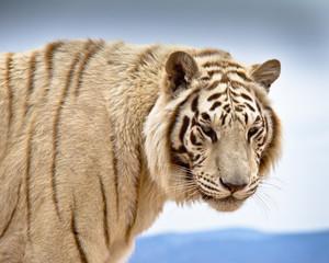 Head & shoulders of Siberian Tiger standing