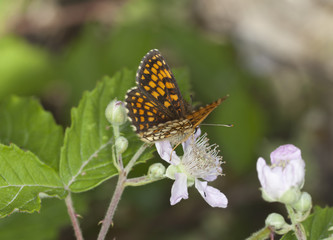 Heath Fritillary, Melitaea athalia feeding on flower