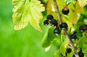 closeup of fresh currant