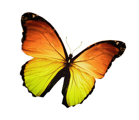 Morpho orange yellow butterfly , isolated on white