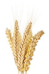 Weizen und Gerste Ähren