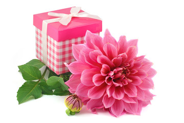 pink dahlias and gift box isolated on white background