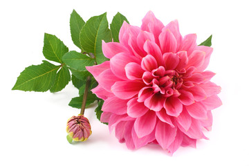 Poster Dahlia pink dahlia isolated on white background