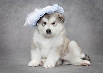 Portrait of malamute puppy