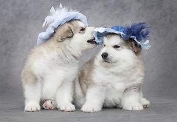 Portrait of malamute puppies