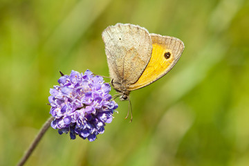 Meadow Brown Butterfly - Maniola jurtina