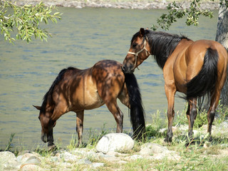Horses on the river