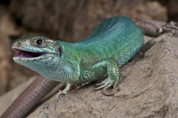 Western Green lizard / Lacerta bilineata