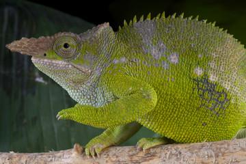 Chameleon male / Kinyongia fischeri