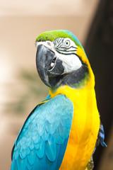 Macaw parrot closeup