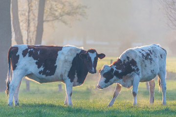Two Dutch milk cows on a foggy afternoon