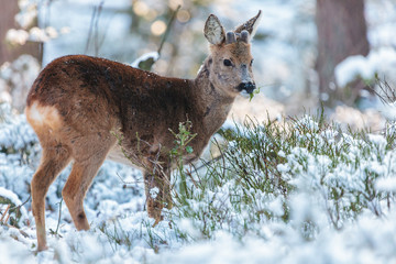 Roe deer grazing in a Dutch winter forest