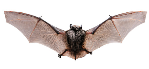 Little brown Bat. Back
