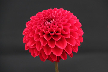 The Beautiful Red Flower Head of a Dahlia Plant.
