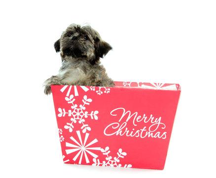 Shih Tzu puppy in Christmas box