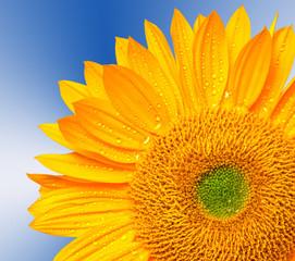 Close up of sunflower