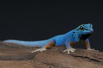 Electric blue gecko / Lygodactylus williamsi Wall mural
