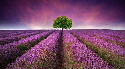 Poster Lavande Stunning lavender field landscape Summer sunset with single tree