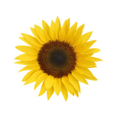 Sonnenblume als Freisteller