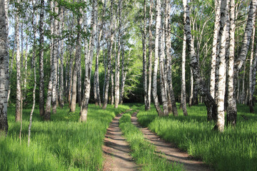 In de dag Berkbosje road in a birch grove