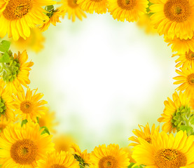 Sunflowers concept with free space for text
