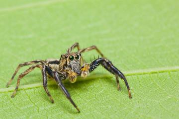 Close up of jumper spider
