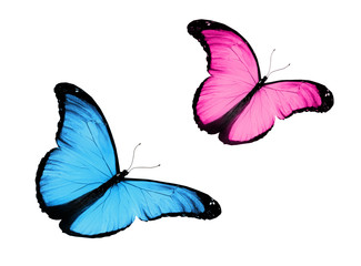 Two blue pink butterfly, isolated on white