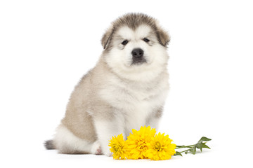 Malamute puppy with yellow flowers