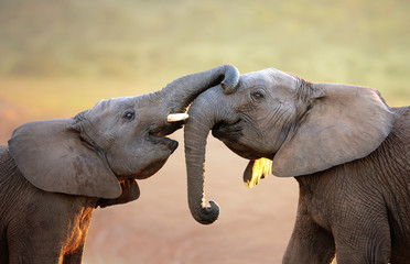 Elephants touching each other gently (greeting) Wall mural