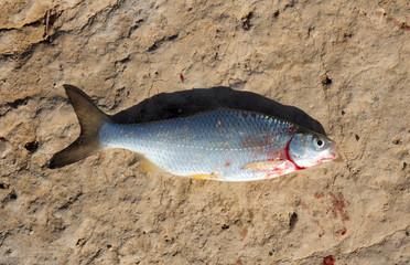fresh fish on a clay soil