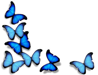 Blue flag butterflies, isolated on white background