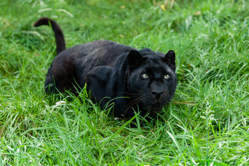 Wall Mural - Black Leopard Ready to Pounce in Long Grass