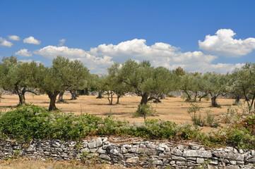 Olivenhain an einer Steinmauer in Istrien