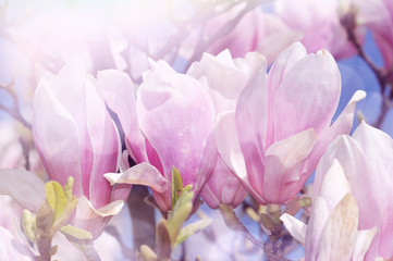 magnolia floral background
