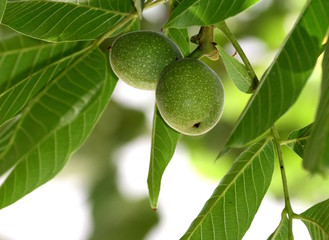 Green walnuts on a tree branch