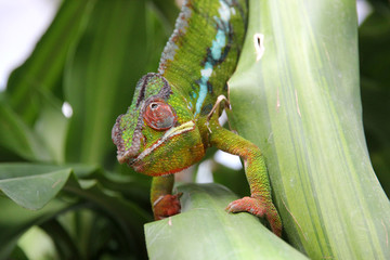 Moving colorful chameleon on a leaf