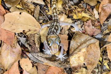 big headed gecko, kirindy