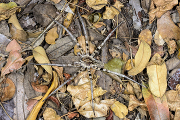 wolf spider, kirindy