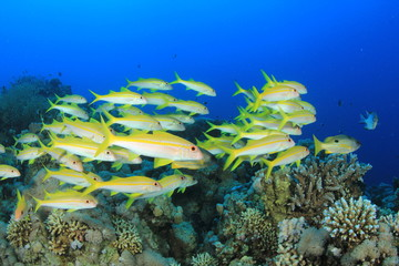 School of Fish on coral reef: Yellowfin Goatfish