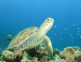 Green Sea Turtle underwater